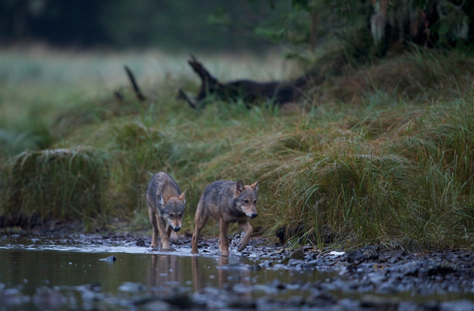 Wolves in the Great Bear Rainforest
