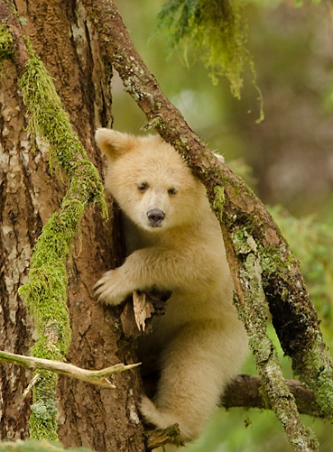 The magnificent Spirit Bear in the Great Bear Rainforest