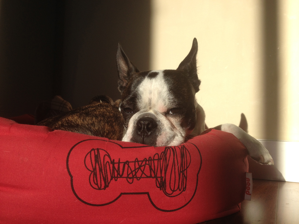 Ouzo, Yiorgos' beloved Boston Terrier