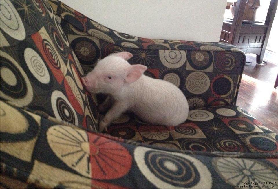 "Esther the ""mini"" pig"